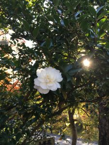 秋の京都山茶花