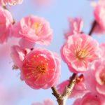 京都着物レンタル花かんざし 梅の花
