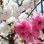 京都着物レンタル花かんざし 桃の花