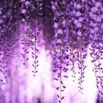 京都着物レンタル花かんざし 藤の花