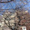 京都着物レンタル花かんざし桜情報2017