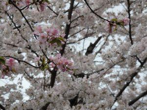 京都着物レンタル花かんざし桜情報