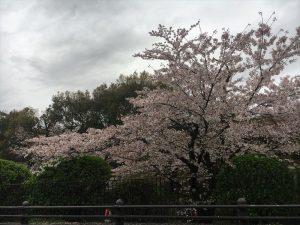 京都着物レンタル花かんざし桜情報南禅寺