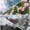 京都着物レンタル花かんざしさくら情報2017