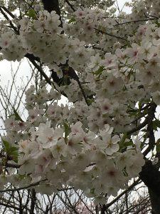 京都着物レンタル花かんざし京都桜情報