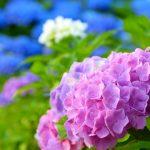 京都着物レンタル花かんざし あじさい祭