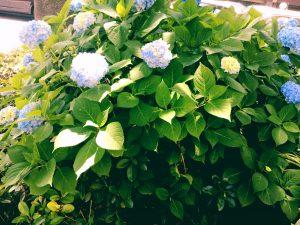 京都着物レンタル花かんざし 紫陽花