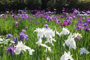 京都着物レンタル花かんざし 花菖蒲