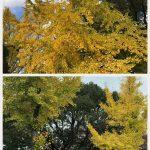 京都着物レンタル花かんざし いちょうの木