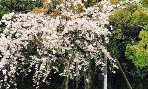 京都着物レンタル花かんざし 下鴨神社の桜