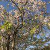 京都着物レンタル花かんざし 大原の桜