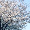 京都着物レンタル花かんざし 京都大原の桜