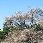 京都着物レンタル花かんざし 桜 岡崎