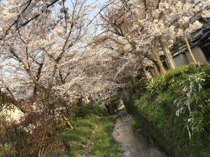 京都着物レンタル花かんざし 桜 白川疎水