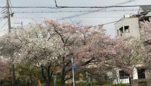 京都着物レンタル花かんざし 白川疎水