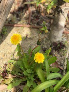 京都着物レンタル花かんざし たんぽぽ