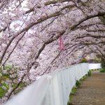 京都着物レンタル花かんざし 桜並木