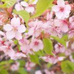 京都着物レンタル花かんざし 葉桜